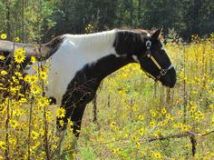 This beautiful photograph is the perfect addition to your home! Great as a gift for any horse lover, or to help accentuate your equestrian or country style decor.  S I Z E S : 11x14 16x20 20x30 24x36  W H A T - Y O U - G E T : A glossy unframed poster of this gorgeous horse in your chosen size! * Picture frame, accessories, couch, ect not included *  A B O U T - T H I S - P H O T O : This image was taken by myself of an American Paint Horse named Rocky in the midst of summer, when the…