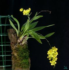 Oncidium | vote result score 0 0 votes 0 oncidium cheirophorum oncidium Miniature Orchids, Cattleya Orchid, Orchidaceae, Cool Plants, Orchids Online, Planting Flowers, World, Passion, Gardening