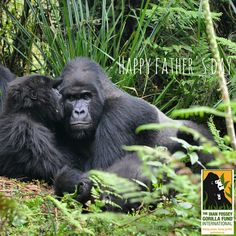 Happy Father's Day! #FathersDay #dad #gorilladads #silverbacks #FathersDaySeries