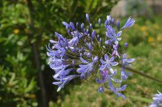 #bleu #botanique #dcoratif oignon #fleur #floraison #flore #jardin