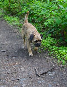 On the bluebell trail Terrier Breeds, Terriers, Best Dog Breeds, Best Dogs, Us Border, Border Terrier, Little Brown, Brown Dog, Little Dogs