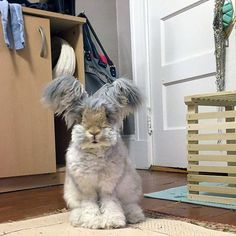 This adorable creature is Wally, an English angora rabbit that has some of the biggest ears you've ever seen. Wally lives in Massachusetts with his owner, Molly, and has recently became an internet celebrity.
