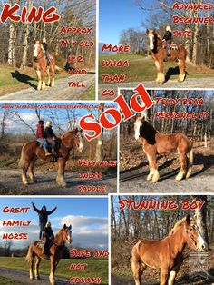 FOUND A NEW HOME  King Approx 14 year old stunning Belgian Gelding 18.2 hands tall Teddy bear personality More whoa than go Advanced Beginner safe Has been ridden by young and old  Very nice under saddle Not spooky Great trail horse