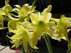 Types of Houseplant Bugs and Methods to Check Their Infestation Hippeastrum Parodii Planting Flowers, Potted Flowers, Amaryllis Bulbs, Amarillis, Plants Delivered, Snake Plant, Bulb Flowers, Beautiful Butterflies, Shrubs