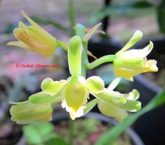Terrestrial Thai Orchid Geodorum siamense