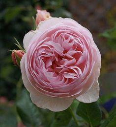 Victorian era rose favorites