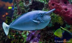 Saltwater Aquarium Fish - Find incredible deals on Saltwater Aquarium Fish and Saltwater Aquarium Fish accessories. Let us show you how to save money on Saltwater Aquarium Fish NOW! Saltwater Tank, Saltwater Aquarium, Aquarium Fish Tank, Saltwater Fishing, Fish Tanks, Salt Water Fish, Salt And Water, Unicorn Fish, Tang Fish