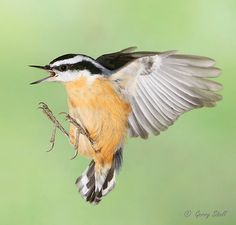 Red-breasted Nuthatch by Gerry Sibell