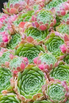 Sempervivum atlanticum, fleshy succulent foliage plant rosettes, green whirls with pink edges tips. Hens and Chicks Echeveria, Sempervivum, Succulent Gardening, Cacti And Succulents, Planting Succulents, Planting Flowers, Succulent Landscaping, Foliage Plants, Air Plants