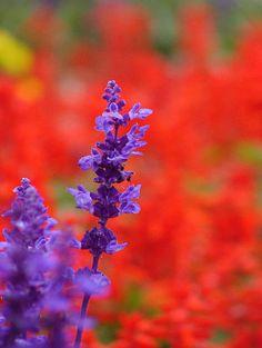 Maybe...Salvia farinacea 01