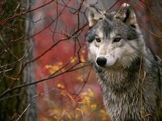 So beautiful..a wolf