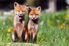 Ces merveilleuses photos vont vous faire tomber amoureux des renards !