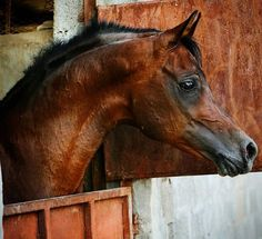 Beautiful Arabian Horses, Horse Portrait, Happy Trails, Animals, Stables, Dreams, Animales, Animaux, Horse Stables