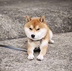 A slightly peeved Shiba inu