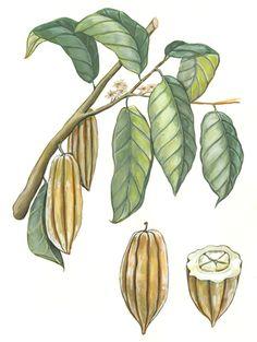 Theobroma cacao by Elara Tanguy Illustration
