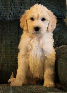 Blond/Cream Goldendoodle Puppies!