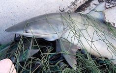 Australia submitted a proposal to ban deepwater gillnets in the Southern Indian Ocean Fisheries Agreement Area last week. Currently a temporary ban Cloud Computing Providers, San Andreas Fault, Ocean Ecosystem, Ocean And Earth, Species Of Sharks, Plastic Pollution, Deep Water, Animal Welfare, Image House