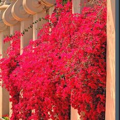San Diego Red Bougainvillea- nice climbing plant