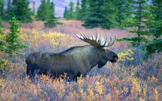 Rey de los Bosques by Judy Syring. Alce entre flores de un bosque en Alaska.