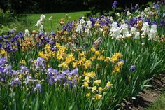 How to Transplant Iris Bulbs | Garden Guides