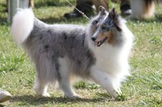 The Shetland Sheepdog originated in the and its ancestors were from Scotland, which worked as herding dogs. These early dogs were fairly Welsh Sheepdog, Shetland Sheepdog Puppies, Miniature Collie, Dog Breed Info, Dog Mixes, Herding Dogs, Sheltie, Australian Shepherd, Animales