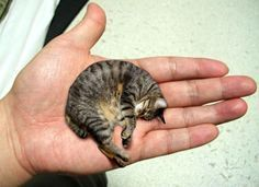 Mr. Peebles from Pekin, Illinois, USA was claimed as the world's smallest cat. Mr. Peebles is two years old cat weighing just 3 pounds and measuring a mere 6.1 inches in height.