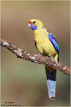 The Yellow Rosella - Platycercus elegans flaveolus, is a variant of the Crimson Rosella - Platycercus elegans, is a sedentary species which ...
