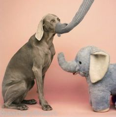 William Wegman Pink Elephants Weimaraner