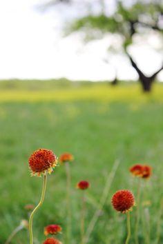 West Texas Wildflowers West Texas, Wildflowers, Muse, Dandelion, Pretty, Plants, Bonheur, Dandelions, Plant