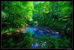 白神山地の青池。たまらない。