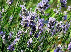 holly blue on lavender by GeaAusten.deviantart.com on @DeviantArt
