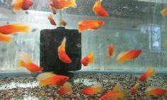(Pack of 6 Males) Sunrise Swordtail 1.5 inch Live Aquarium Fish Tank Raised $34 Aquarium Fish For Sale, Tropical Aquarium, Aquarium Ideas, Aquarium Fish Tank, Tropical Fish, Swordtail Fish, Platy Fish, Selective Breeding