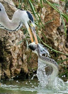 Just because a bird is stealing a fish from a snake. Should have eaten them both!