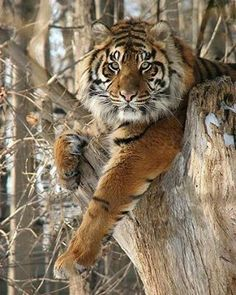 """24.1k Likes, 60 Comments - Wild Geography (@wildgeography) on Instagram: """"Beautiful a tiger Follow @wildlifeplanet for more amazing wildlife and animals photos…"""""""