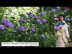 Japan Guide, Aichi, Hydrangea, Hydrangeas, Hydrangea Macrophylla