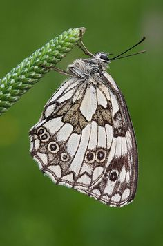 The Marbled White (Melanargia galathea) is a butterfly in the family Nymphalidae. Found across most of Europe, south Russia, Asia Minor and Iran