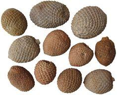 Araucaria Fossil Pinecones. Argentina