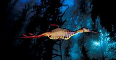 Unearthly imagery: A weedy sea dragon, Phyllopteryx taeniolatus, patrols a kelp forest at Waterfall Bay, Tasmania, Australia Underwater Life, Underwater Photos, Waves Photography, Nature Photography, Life Pictures, Cool Pictures, Weedy Sea Dragon, Kelp Forest, Underwater Photographer