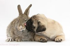 Pets: Fawn Pug pup, 8 weeks old, and young agouti rabbit photo ...