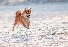 All hail the cult status of the Shiba Inu.