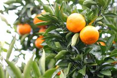 """from our own tangerine (""""mikan"""") picking experience in Japan, orange and green, nature, healthy, fresh"""