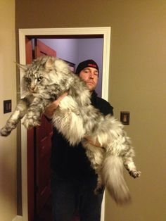 """This is how big a Maine Coon Cat can get! Easy-going, affectionate and friendly, the Maine Coon cat's personality is mostly pleasant, enough to make a pet owner """"purr"""" with warmth. Gatos Maine Coon, Chat Maine Coon, Maine Coon Kittens, Cats And Kittens, Cats Meowing, Funny Cats, Funny Animals, Cute Animals, Giant Animals"""