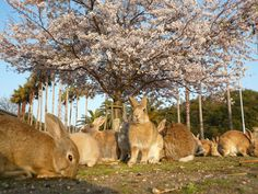 Kyukamura OHKUNOSHIMA is a Japanese island with tame feral bunnies that will jump on your lap!