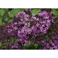Proven Winners Bloomerang Dark Purple Reblooming Lilac (Syringa) Live Shrub, Purple Flowers, 4.5 in. Qt. SYRPRC1027800 at The Home Depot - Mobile
