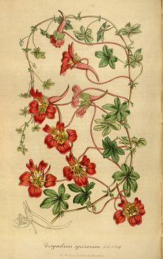Tropaeolum speciosum - Flame Flower - circa 1847