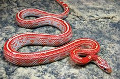 Miami Striped Motley Corn Snake