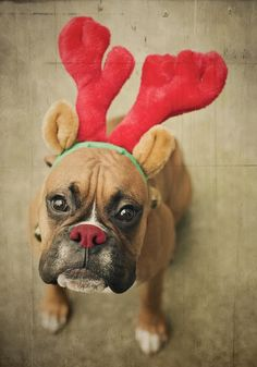 """""""Rudolph"""" Hollie your puppies would look sooo cute like this!!!"""