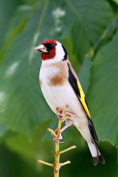 Beautiful Birds, Beautiful Pictures, British Wildlife, Cute Horses, Goldfinch, Cute Birds, Flower Photos, Bird Watching, Bird Feathers