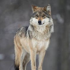 The Grand Canyon wolf, its future unknown, will likely be shot on sight if superstitious 'lawmakers', Obama, and Great White Hunters have their way. How exciting, and sad at the same time...