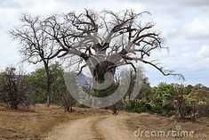 Baobab tree at Gonarezhou National Park